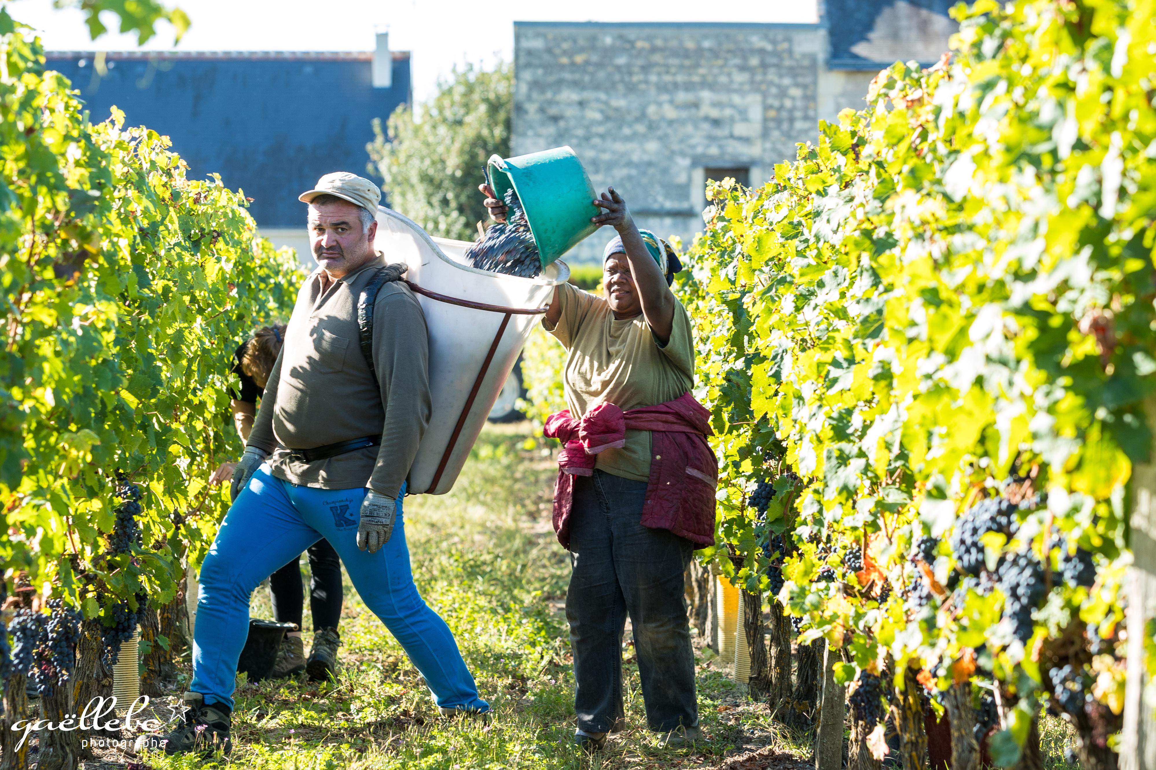 2-Vendanges-2018-Maison-de-Vins-de-bourgueil-JPGhd-154 copie